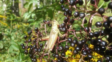 Grasshopper Elderberry Combo