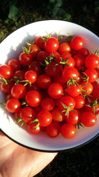 """Mini Baby"" Cherry tomato"