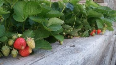 June strawberries