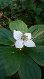 Bunchberry plant (Cornus canadensis)