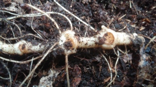 Solomon's Seal root, but I am unsure which one