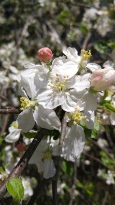 Hawthorn flower, I think?