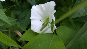 Munching on moonflower