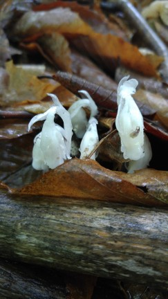 Ghost Pipe - Monotropa uniflora