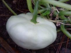 white squash